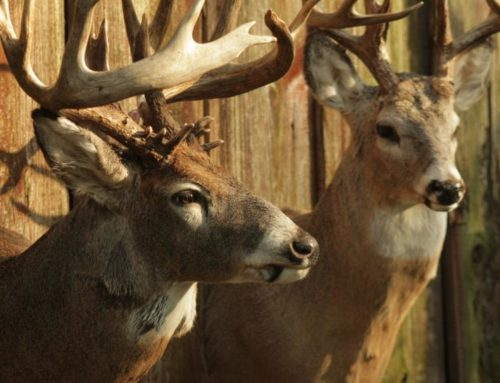 How Long Should You Wait To Get Your Buck Back From The Taxidermist?