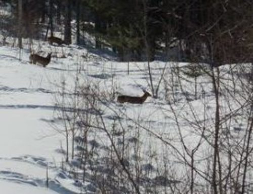 How Deer Survive In Brutal Winter Weather