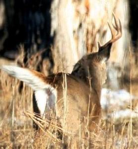 one-horned buck shedding