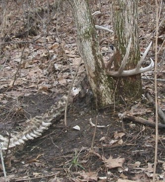 Shed Hunting Are Skulls With Antlers Legal Big Deer