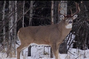 Big Buck picture to use