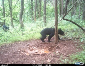cam jack bear