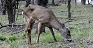 cwd-deer