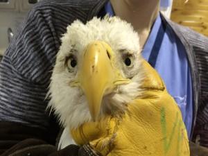 VA eagle
