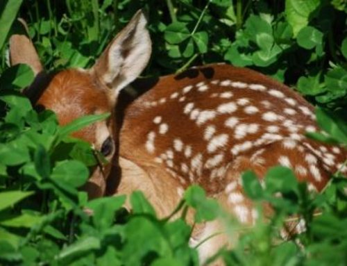 10 Cool Things About Deer Fawns
