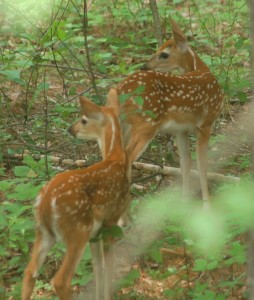 fawns 1 (2)
