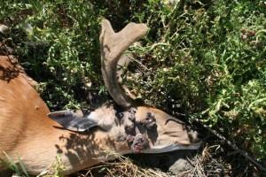 antelope,turkeyeggs,wartydeer022(Small)