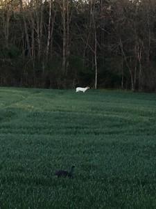 MD white deer