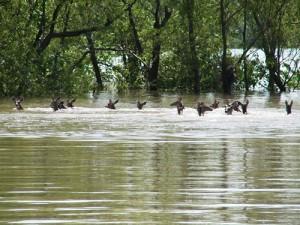 floods deer