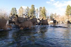 wy mule deer migration