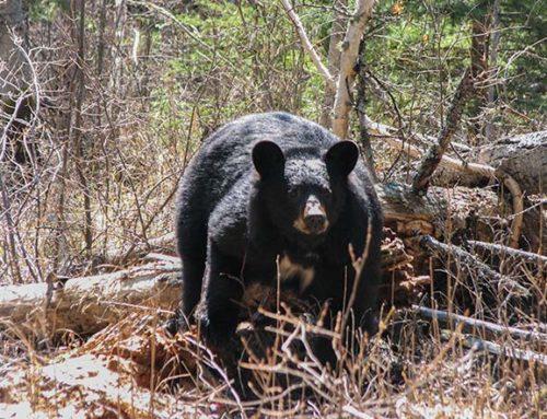 Deer & Wildlife Thriving During Covid-19 Lockdowns