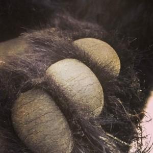 skin bear foot