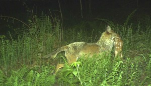 coyote wiht fawn