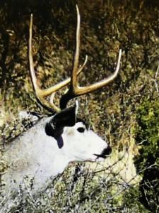 mule deer 2 pt