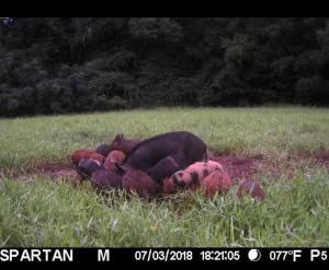 spartan pigs