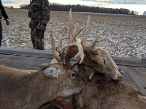 stuck deer 2