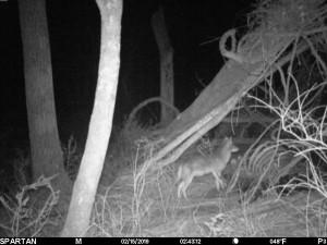 spartan coyote