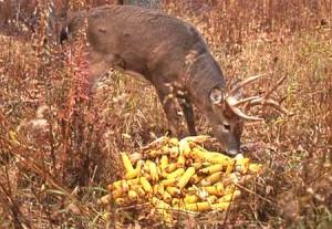 deer-baiting