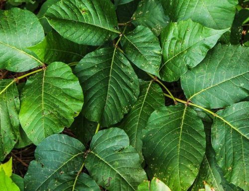 7 Ways To Identify Poison Ivy